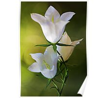 Peach-Leaved Bellflower Poster