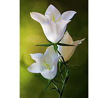 Peach-Leaved Bellflower Photographic Print