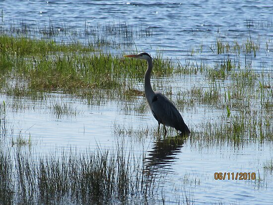 Blue Heron - Closer shot - Cape Breton, Nova Scotia by ginger54