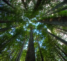 The majestic redwoods by Madhusudan