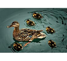 Duckling Flotilla Photographic Print
