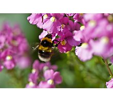 Garden bumble bee Photographic Print