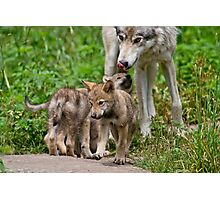 Timber Wolf And Pups Photographic Print