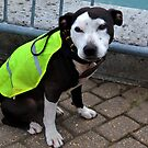 Whizzy StaffieDog  by lynn carter