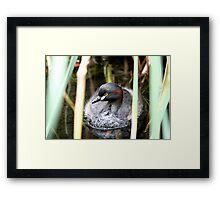 Australasian Grebe Framed Print