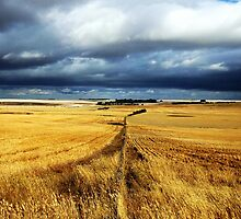 Fields of Grain - Australia by Juli Davine