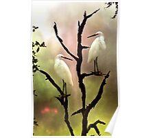 Roosting Egrets Poster