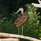 The elegant Limpkin by Karen  Moore