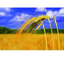 Barley Bright Photographic Print