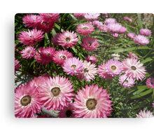 Paper daisy - Kings Park Perth Western Australia Metal Print