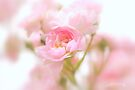 Rose collection 4 by aMOONy