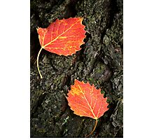 Two Autumn Leaves Photographic Print