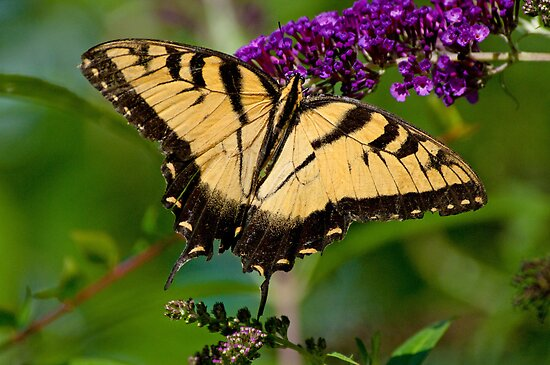 Eastern Tiger Swallowtail on Butterfly Bush by Bonnie T.  Barry