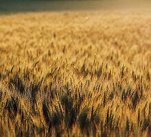Golden Fields by AbigailJoy