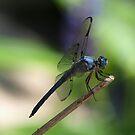 Great Blue Skimmer 067 by Brenda Loveless
