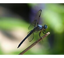 Great Blue Skimmer 067 Photographic Print