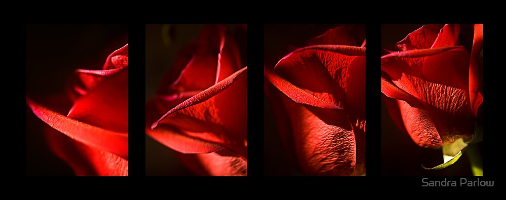 Red Rose by Sandra Parlow