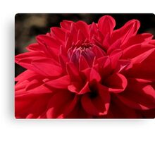 Red Dahlia Hybred Canvas Print