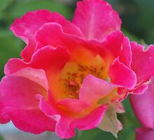 Hot pink rose with flaring petals by ♥⊱ B. Randi Bailey