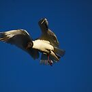 Black Headed Gull by Gary Buchan