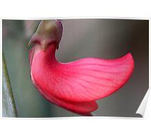 Daviesia epiphyllum Poster