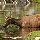 Female Elk in Lake by Michael Cummings