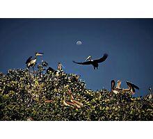 Pelican Moon Photographic Print