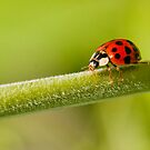 Lady Bird, Lady Bird fly away home... by David Friederich