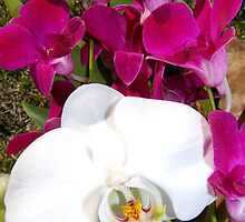 Orchids by elsha