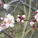 Wild apricot blossom, Great Wall, China by Philip Mitchell