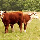 Cows by Susan Grissom