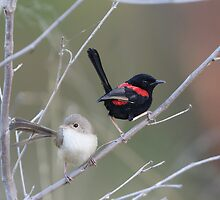 Red-backed Fairywrens  by Jeremy Weiss