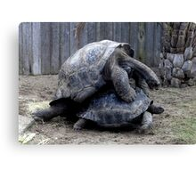 Large Turtle's Mating Canvas Print