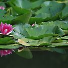 Lotus by Hans Kool
