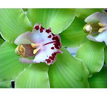 Green Cymbidiums Orchid Photographic Print