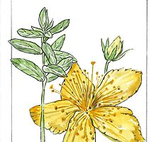 Hypericum perforatum - Botanical by Maree  Clarkson