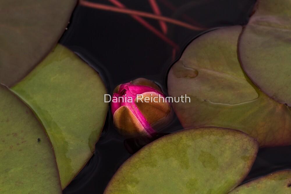 Lotus Bud by Dania Reichmuth