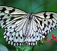 The White Butterfly by Agro Films
