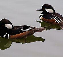 Hooded Merganser Duck Reflection by Paulette1021