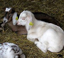 Two young goats by steppeland