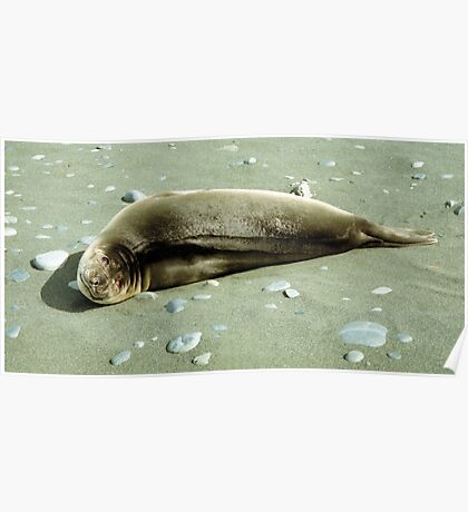 Southern Elephant Seal Pup, Macquarie Island  Poster