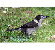 Grey Butcher Bird ( Cracticus torquatus )  Photographic Print