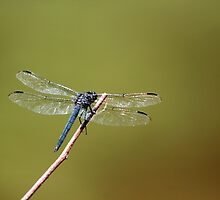 Dragon Fly by Elkat