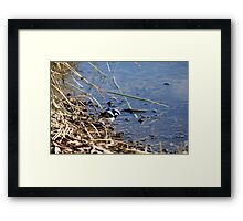 Blue wren , Laratinga Wetlands, Mount barker, S.A. Framed Print