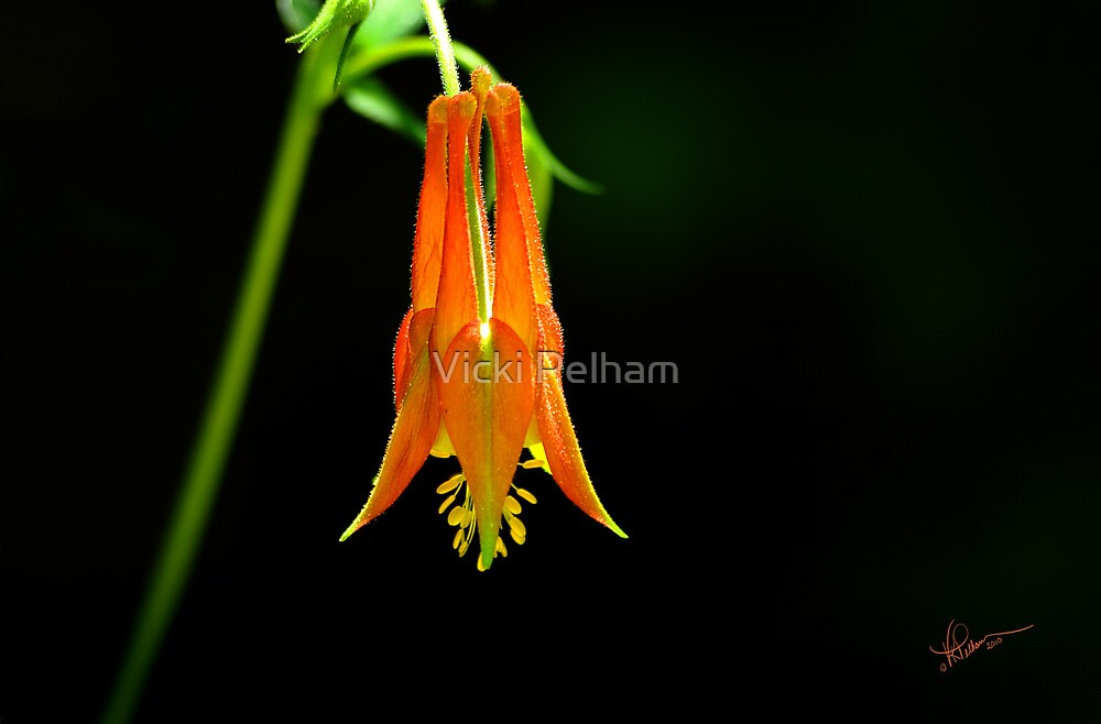 Southwestern Red Columbine by Vicki Pelham
