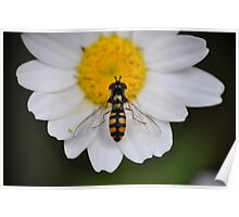 Hoverfly in the Feverfew Poster