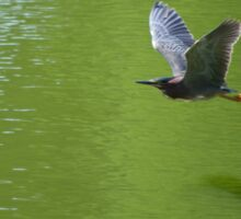 Green Heron In Mid Air Sticker