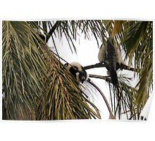 Howling Black & White Ruffed Lemur Poster