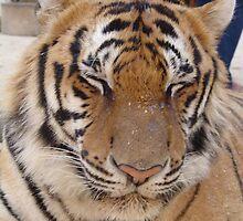 Tiger sleeping by Feesbay