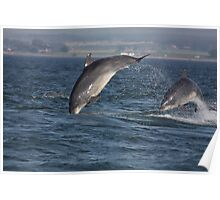 Moray Firth Bottlenose Dolphins Poster